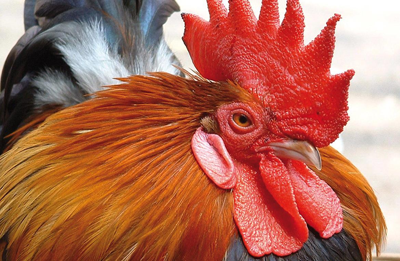 Bloedluis bij kippen en vogels
